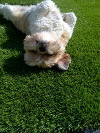 Artificial Grass Pets
